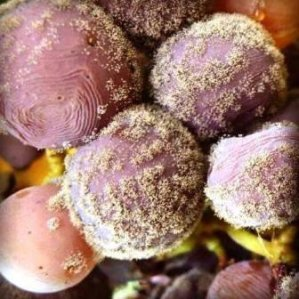 White-Bordeaux-grapes-with-Botrytis