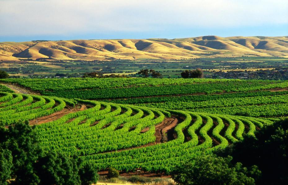 McLaren vale, sweeping vines from samuels ridge winery