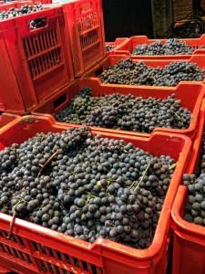 Nebbiolo for Barolo Harvest at Catina Bartolo Mascarello in Barolo.